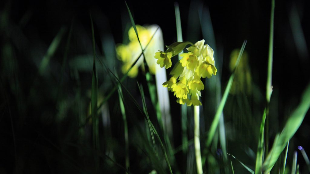 Photo of a cowslip (Primula veris) at night