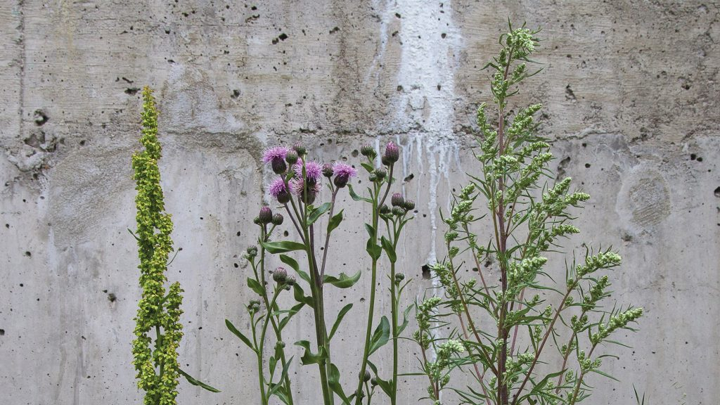 Photo of three weeds: dooryard dock (Rumex longifolius), creeping thistle (Cirsium arvense) and common mugwort (Artemisia vulgaris)