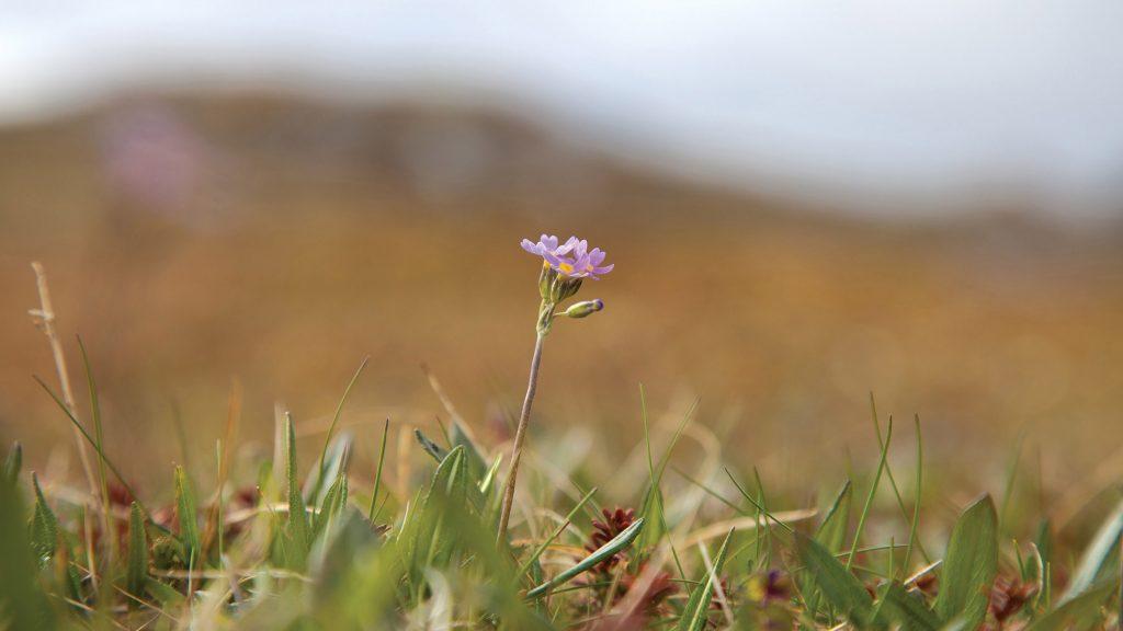 Photo of a Siberian primrose (Primula nutans)
