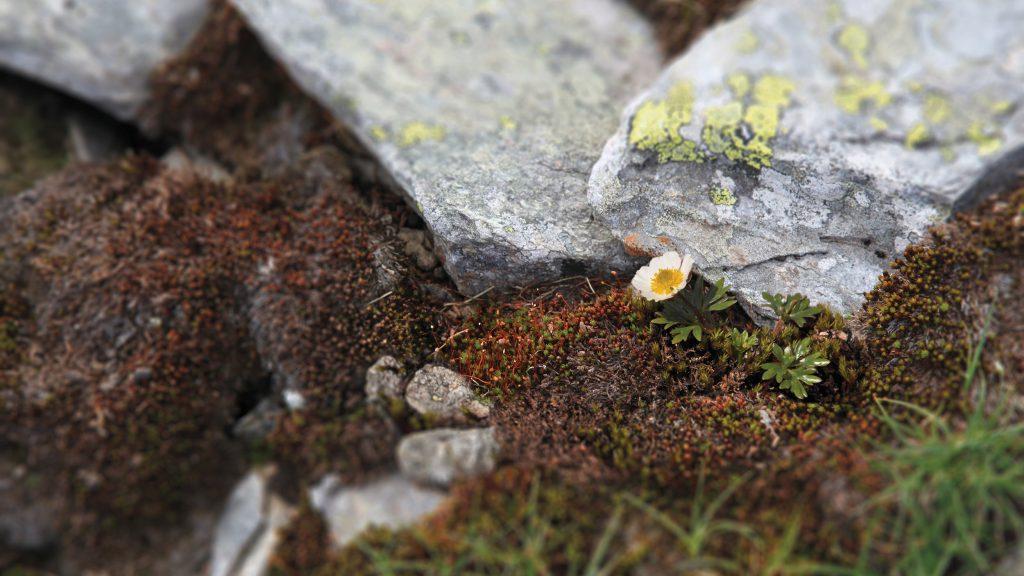 Photo of glacier buttercup (Ranunculus glacial)