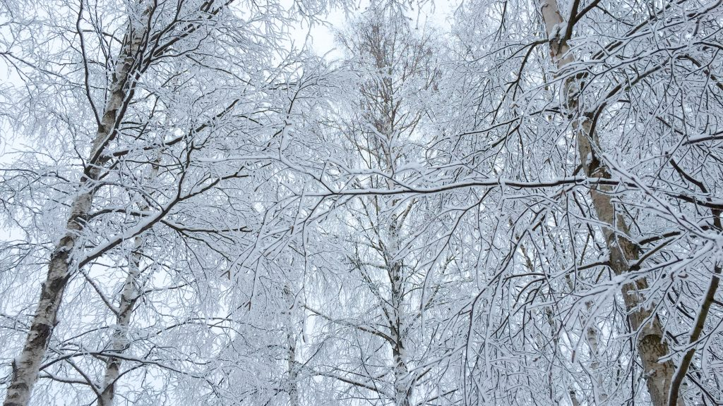 Photo of snowy birch trees